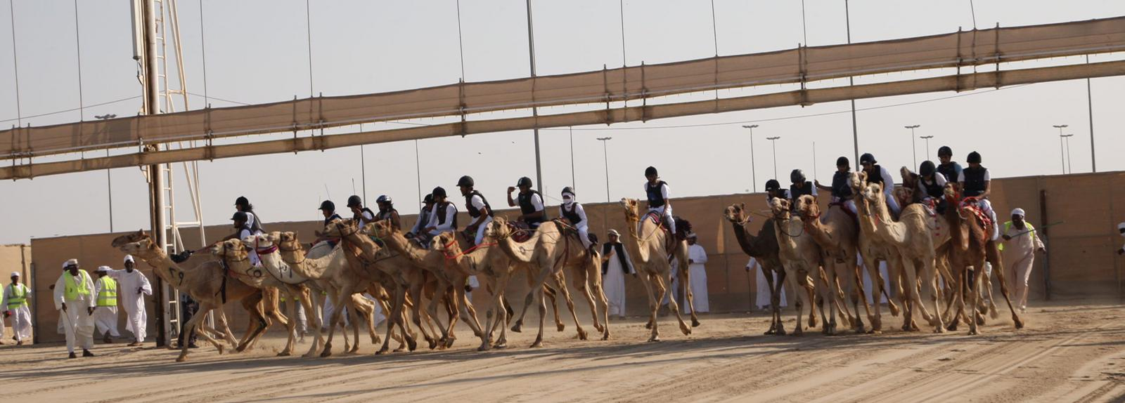 سباق الهجن التراثي يقام الجمعة 4 ديسمبر